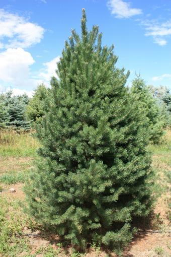 Scotch-Pine-Christmas-Tree