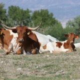 Animal_Viewing_Longhorn_Cattle